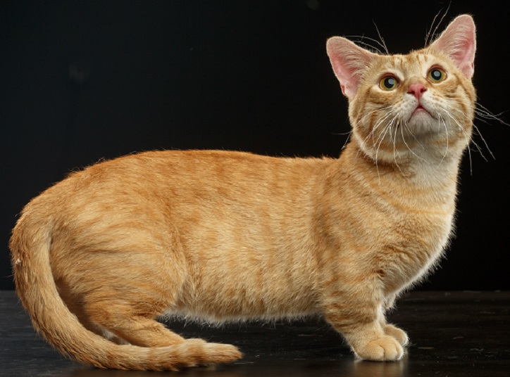 Munchkin Cat Facts, Facts About Munchkin Cats
