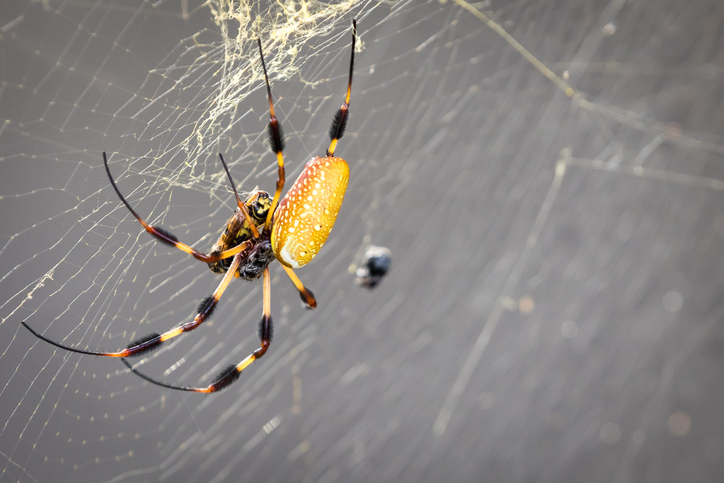Banana Spider, Banana Spiders, Banana Spider Facts