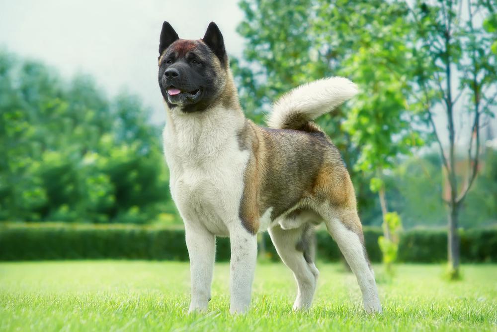 most expensive dog Akita