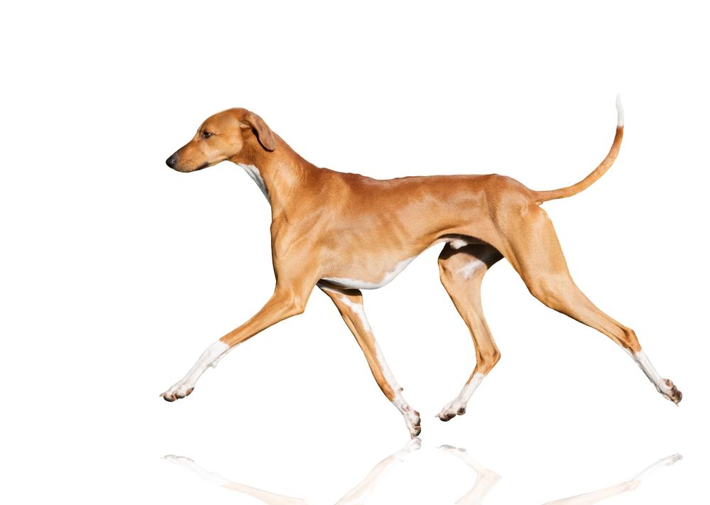 most expensive dog Azawakh