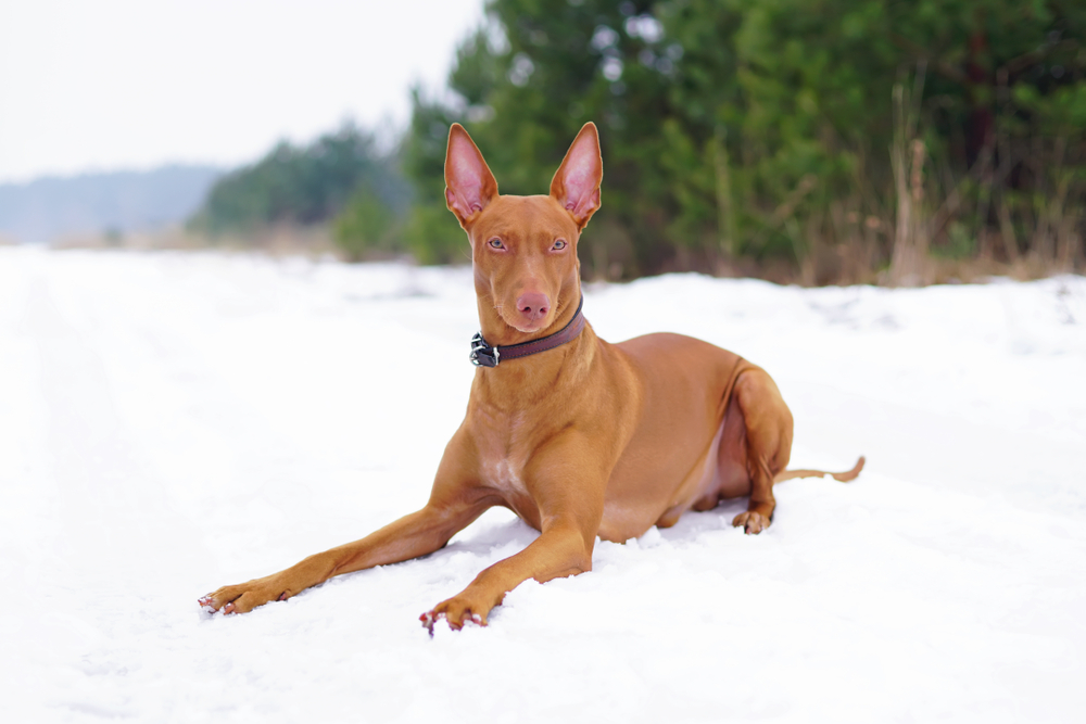 most expensive dog Pharaoh Hound