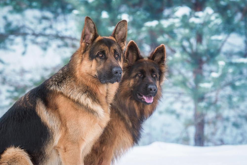 best guard dog german shepherd