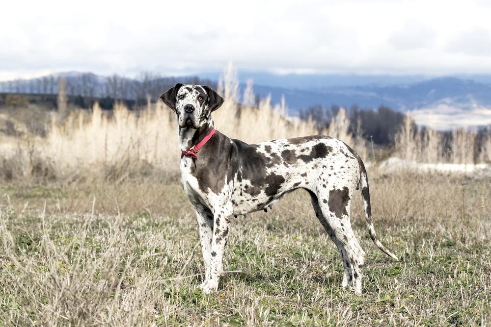 Great Dane best guard dog