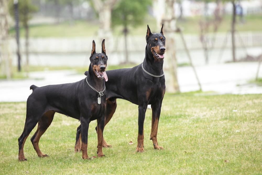 best guard dog doberman